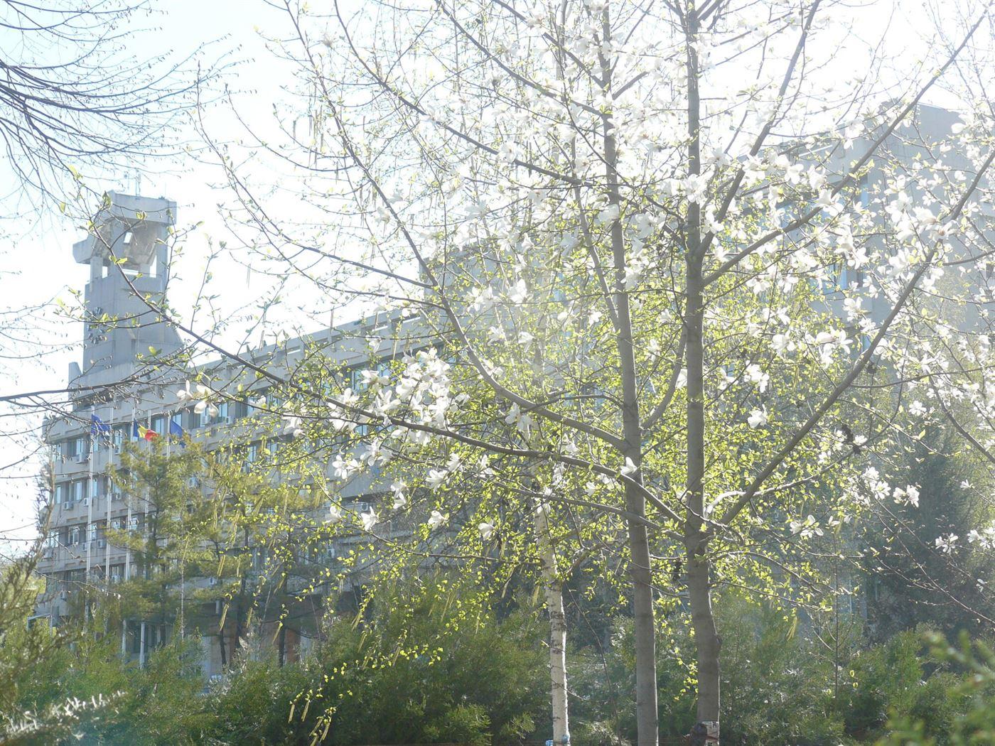 Au inflorit magnoliile la Primarie