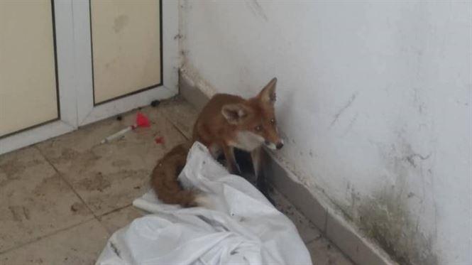 O vulpe a fost salvata dintr-un luminator al clinicii de dializa din curtea Spitalului Judetean