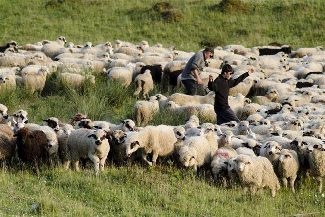 Au furat oi de la o stana