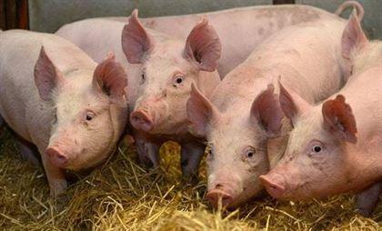 Numarul focarelor de pesta porcina africana in judetul Braila a ajuns la 13