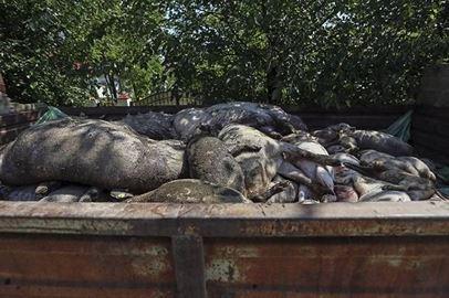 Pesta Porcina Africana confirmata la Tebu, cea mai mare ferma din Romania