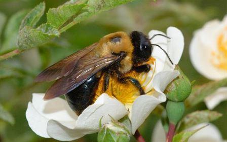 Culturile timpurii de rapita pot contribui la cresterea populatiilor de bondari in randul culturilor de floarea-soarelui