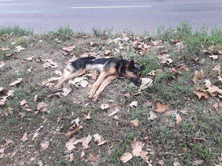 Un câine lup lovit își caută stăpânul