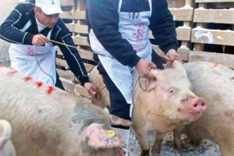 În ultima lună nu s-a mai înregistrat nici un focar de pestă porcină în județul Brăila