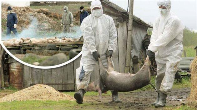 Alertă de pestă porcină africană. Carantină la trecerea bac de la Tulcea spre Brăila şi Galaţi