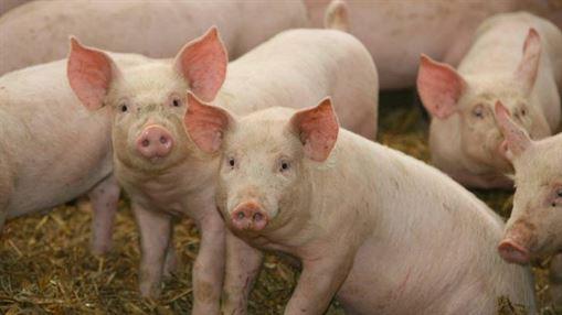 Bani de la Guvern pentru persoanele concediate din cauza pestei porcine africane