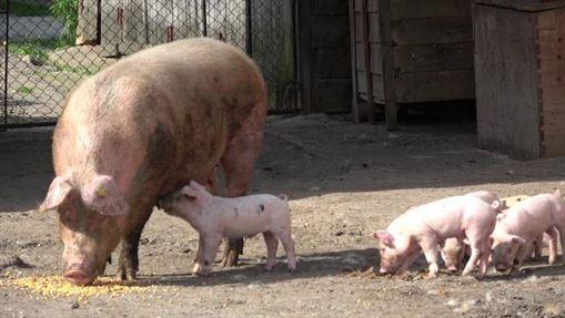 Ordinul ANSVSA nu interzice creșterea porcilor în gospodăriile populației
