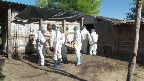 Brăila rămâne unul dintre județele cele mai afectate de virusul pestei porcine africane