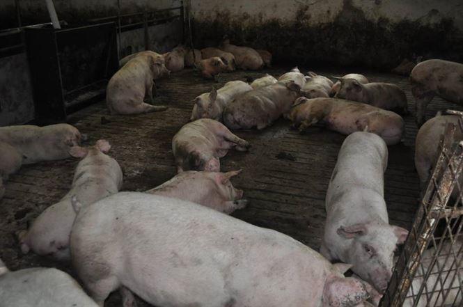 Chiar dacă în ultimele săptămâni nu s-au mai înregistrat noi cazuri de PPA, Brăila rămâne pe primul loc la numărul de porci uciși din această cauză