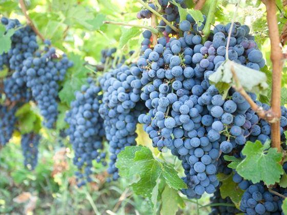 Solutii pentru incurajarea producatorilor viticoli si a pietei vinului